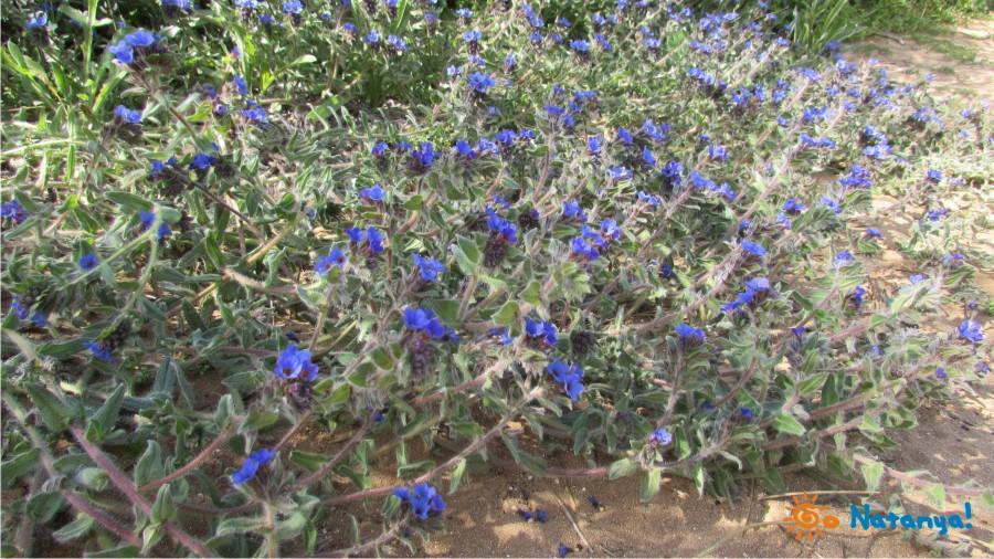 """Парк ирисов """"Ирусим"""" в Нетании, Израиль"""